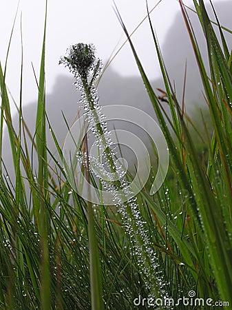 TATRA GRASS