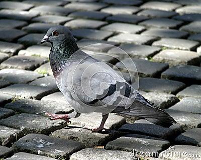 Taube auf Kopfstein