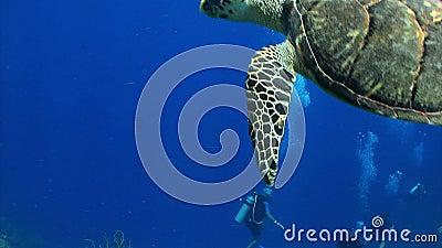 Taucher passen große Meeresschildkröte auf, weg zu schwimmen stock video footage