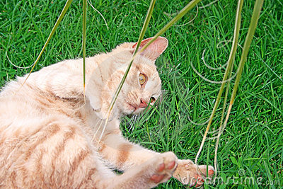 Tawny кота