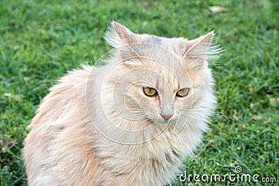 Tawny cat