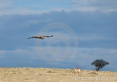 Tawny Eagle over Masai Mara