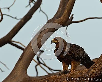 Tawny Eagle with prey