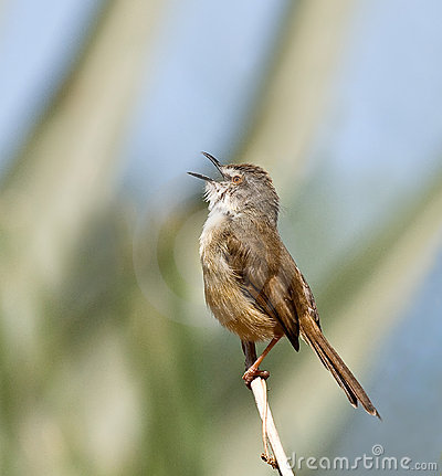 Tawny-flanked Prinia singing