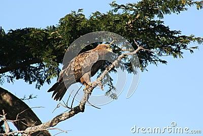 Tawny Hawk