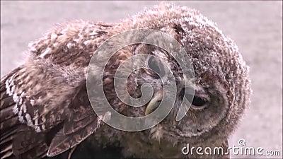 Tawny Owl lager videofilmer