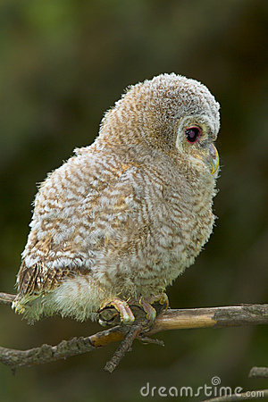 Tawny owl, juvenile / Strix aluco