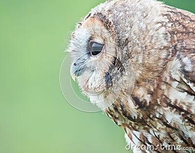 Tawny owl profile