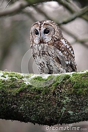 Free Tawny Owl, Strix Aluco Stock Photo - 31984820