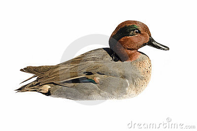 Taxidermied Green-winged teal