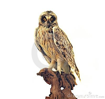 Taxidermy of an Owl