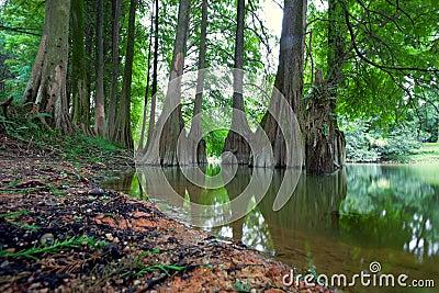 Taxodium distichum Cedar landscape
