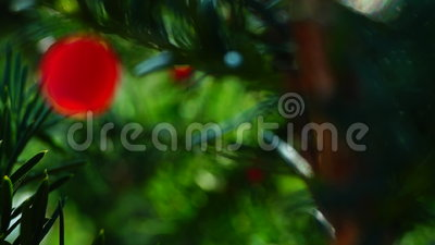 Taxus baccata φιλμ μικρού μήκους