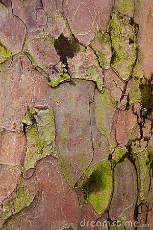 Free Taxus Baccata Tree Bark Stock Photo - 13732420