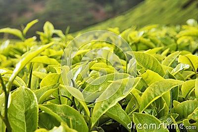 Tea bud and leaves.