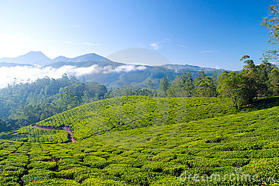 Tea Cultivation Stock Images - Image: 15476174