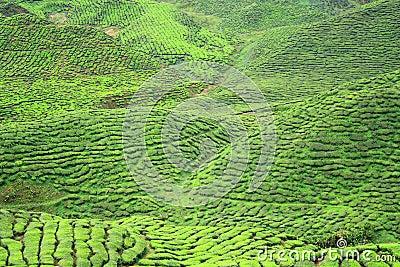 Tea Farm Valley in Cameron Highlands