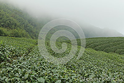 Tea farms on Ali mountain in Taiwan