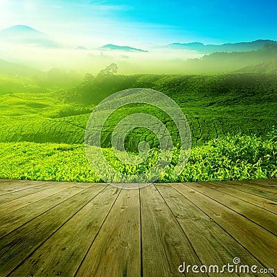 Free Tea Field Stock Photography - 51822922