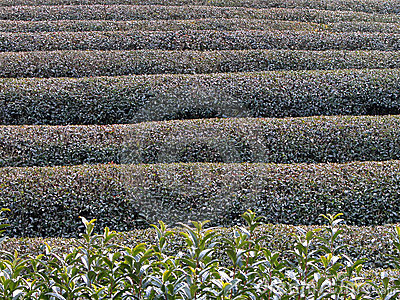 Tea field in winter 1