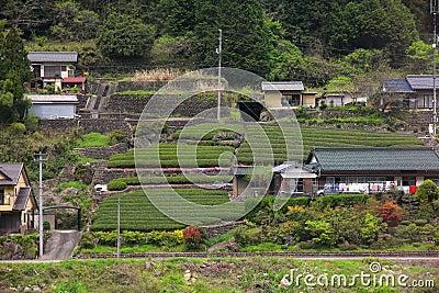Tea fields in Japan