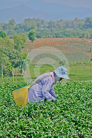 Tea garden in northern thailand Editorial Stock Image