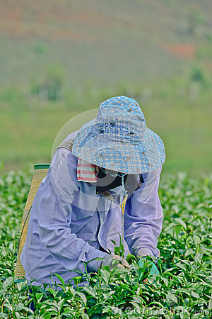 Tea garden in northern thailand Editorial Photo