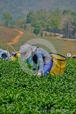 Tea garden in northern thailand Editorial Photography