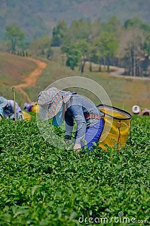 Tea garden in northern thailand Editorial Photography