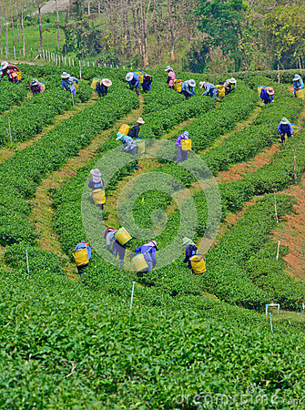 Tea garden in northern thailand Editorial Image