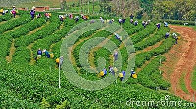 Tea garden in northern thailand Editorial Image