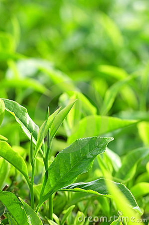 Free Tea Leaf Stock Images - 5452724