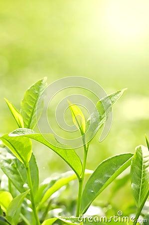 Free Tea Leaf Stock Image - 6472391