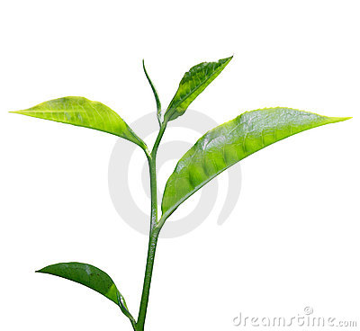 Free Tea Leaf Royalty Free Stock Images - 9276659