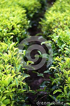Tea leaf farm