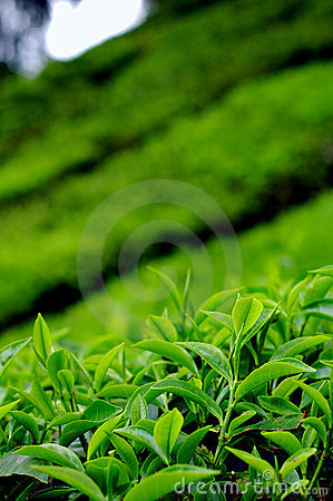 Free Tea Leaves At A Plantation Royalty Free Stock Images - 2325229