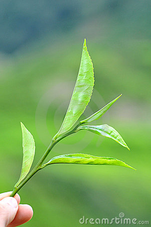 Tea leaves in the cameron highlands