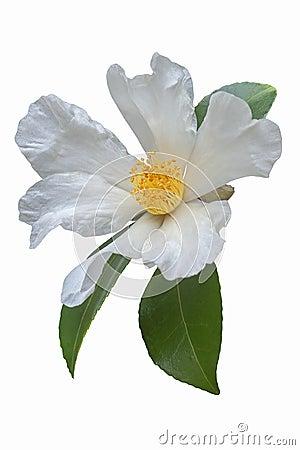 Free Tea Oil Camellia Flower Royalty Free Stock Photography - 70653427