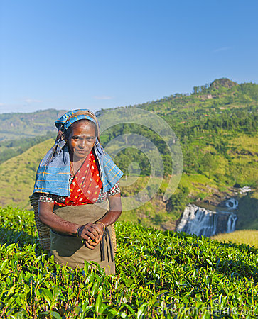 Free Tea Picker Smirks As She Picks Leaves Royalty Free Stock Photography - 45283647