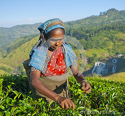 Free Tea Picker Woman Picks Leaves Royalty Free Stock Images - 45322999