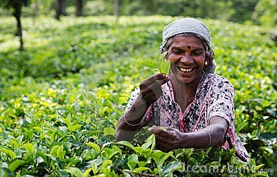 Tea picking in Sri Lanka hill country Editorial Stock Photo