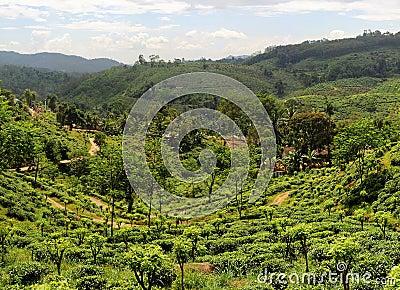 Tea plantaition