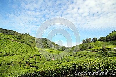 Tea Plantation 02