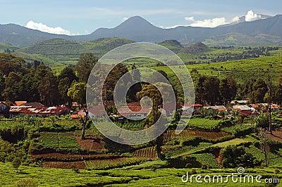 Tea-Plantation 1