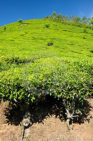 Tea Plantation Stock Image - Image: 12816301