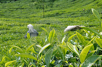 Tea plantation Editorial Stock Photo