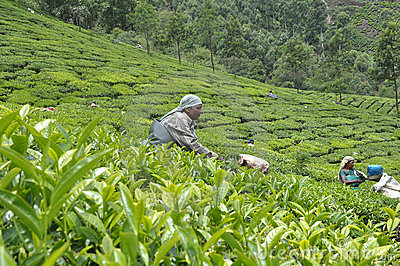 Tea plantation Editorial Image