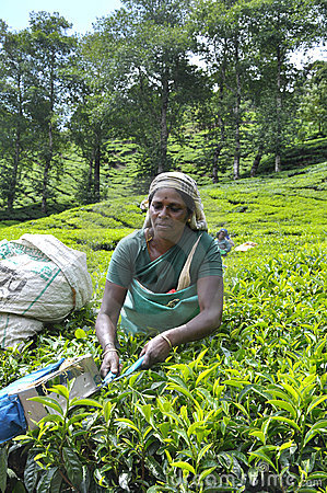 Tea plantation Editorial Photography
