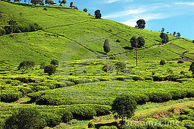 Tea-Plantation 2