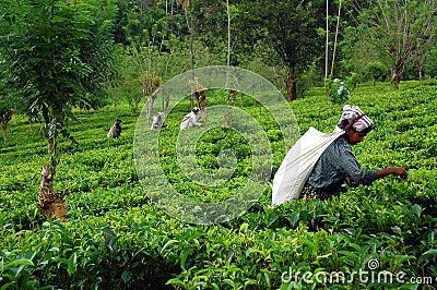 At the Tea Plantation Editorial Photography
